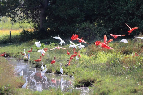 Envols d'oiseaux - Ibis rouge - sur l'Île de Marajo (Para, Brésil) ©Bertrand Lemeunier