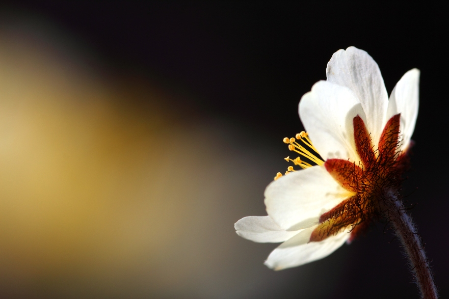 Macro photo d'une fleur au Parc National de Quttinirpaaq (Île d'Ellesmere, Nunavut, Canada) ©Bertrand Lemeunier