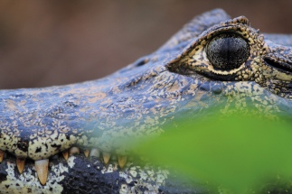 Oeil d'un caïman dans la région du Pantanal (Brésil) ©Bertrand Lemeunier