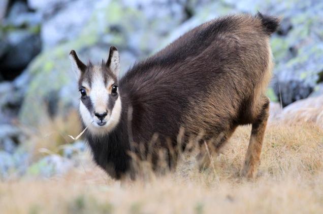 Portrait d'un chamois dans le Parc national des Tatras (Pologne) ©Bertrand Lemeunier