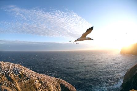Colonie de fous de bassans à la Réserve Ornithologique de Cap Sainte-Marie (Terre-Neuve, Canada) ©Bertrand Lemeunier