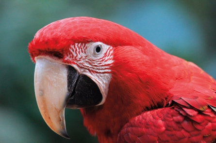 """Portrait d'un perroquet Ara rouge au """"Parque das Aves"""" (Foz do Iguaçu, Paraná, Brésil) ©Bertrand Lemeunier"""