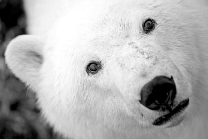 Portrait d'un ours polaire (Churchill, Manitoba, Canada) ©Bertrand Lemeunier