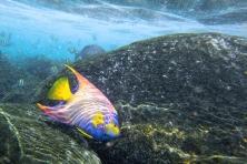 Portrait d'un poisson ange royal, Archipel des Abrolhos (Bahia, Brésil) ©Bertrand Lemeunier