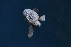 Portrait d'un bébé tortue, projet de conservation TAMAR (Brésil) ©Bertrand Lemeunier