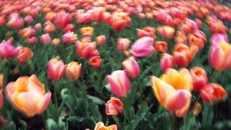 Tulipes (en mouvement à la prise de vue) au Jardin Botanique de Montréal (Québec, Canada) ©Bertrand Lemeunier