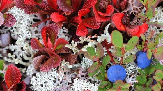 De belles couleurs d'automne et de bons bleuets ! Photo prise lors de la Corvée des Monts Groulx (Québec, Canada) ©Bertrand Lemeunier