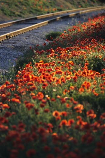 Champs de coquelicot aux abords d'un chemin de fer en France ©Bertrand Lemeunier