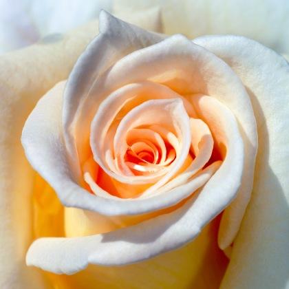 Rose (Québec, Canada) ©Bertrand Lemeunier