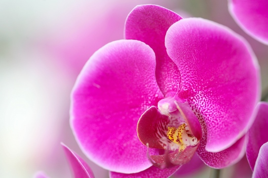 Orchidée rose (Québec, Canada) ©Bertrand Lemeunier