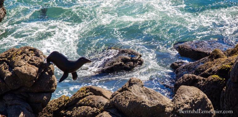Saut d'un phoque sur les roches - colonie proche de Westport (Nouvelle-Zélande)