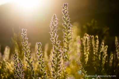 Fleurs au coucher de soleil dans la région Otago