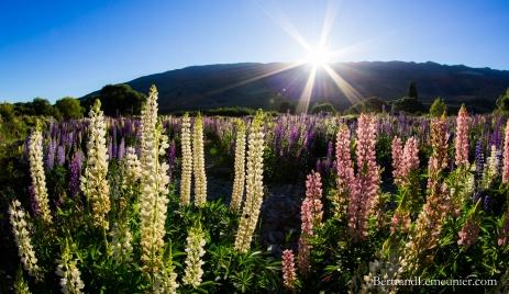 Fleurs au lever de soleil dans la région Otago