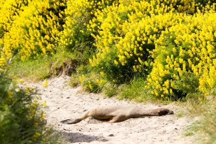 9-Faune_sieste_lion-de-mer_NZ_Terra-Tributa